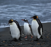 penguins_walking_-moltke_harbour__south_georgia__british_overseas_territory__uk-8-blog-200