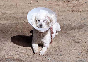 POODLE with cone of shame